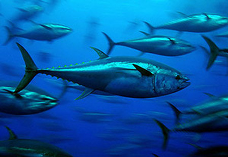 Bluefin Tuna The Zoobly Zoofari